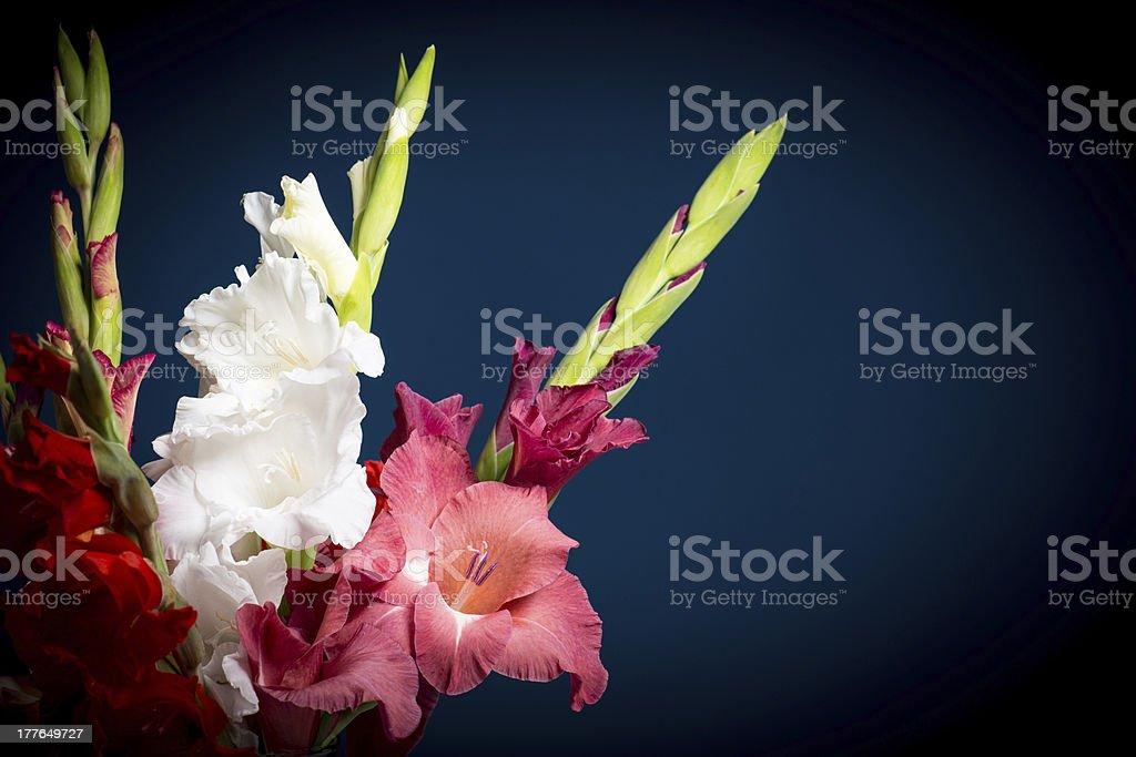 flowering gladioli royalty-free stock photo