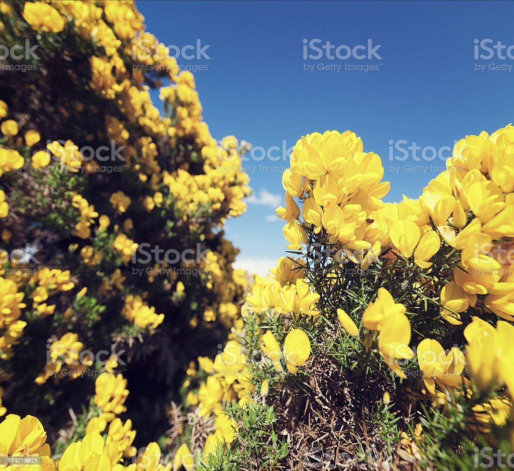 Flowering Gorse in Summer royalty-free stock photo