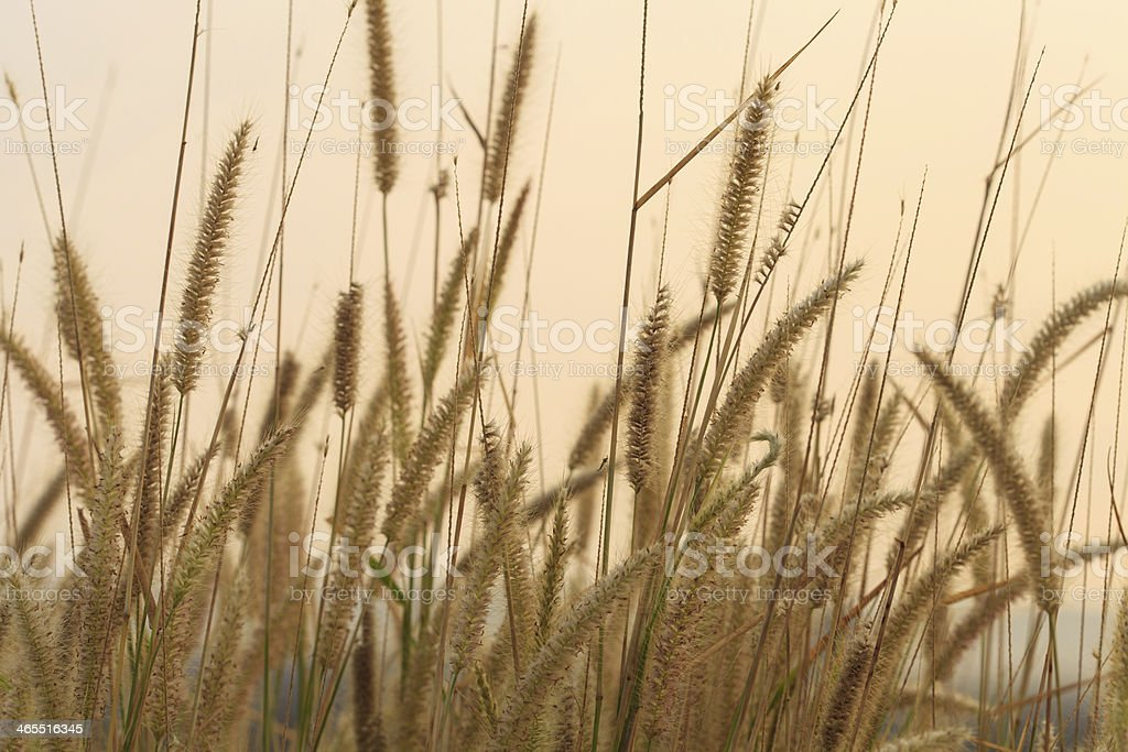Flowering grass during the sunrise royalty-free stock photo