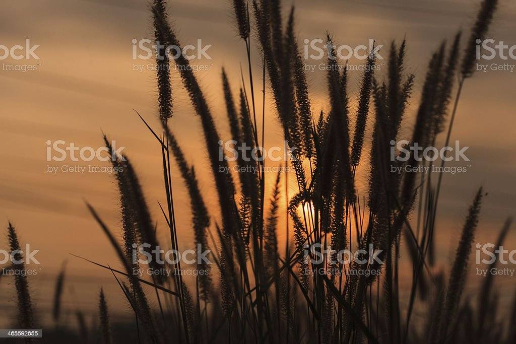 Flowering grass during the sunset royalty-free stock photo