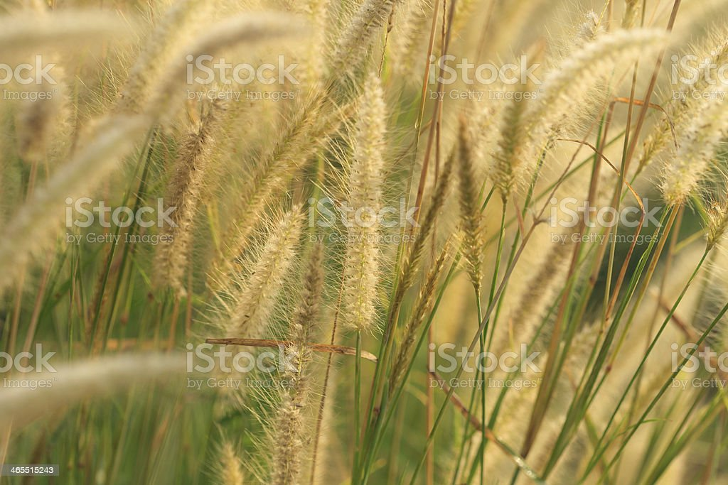 Flowering grass royalty-free stock photo