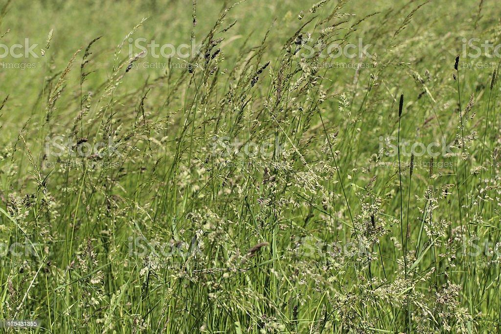 Flowering grasses stock photo