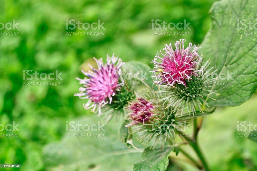 Flowering Great Burdock (Arctium lappa) - foto stock