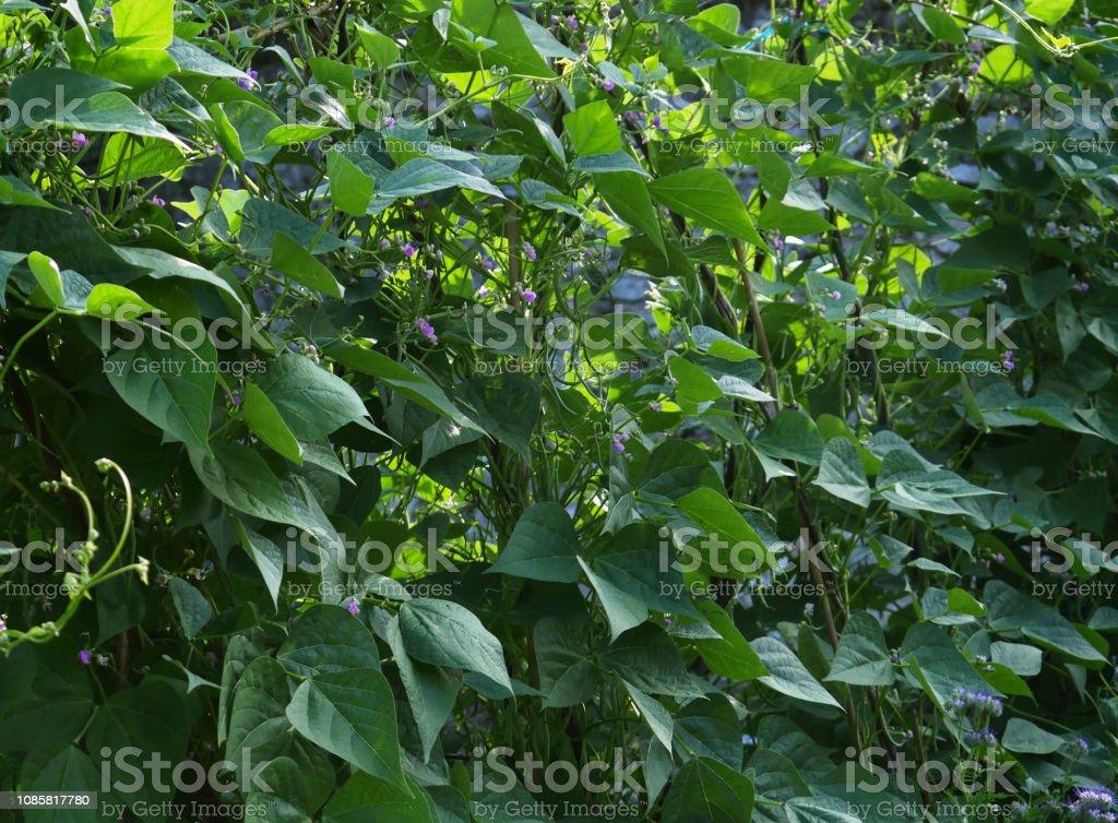 Flowering Green Bean plants stock photo