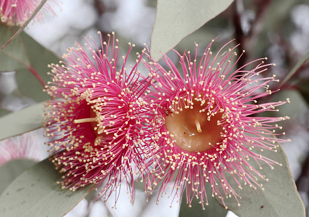 Flowering gum tree blossom stock photo