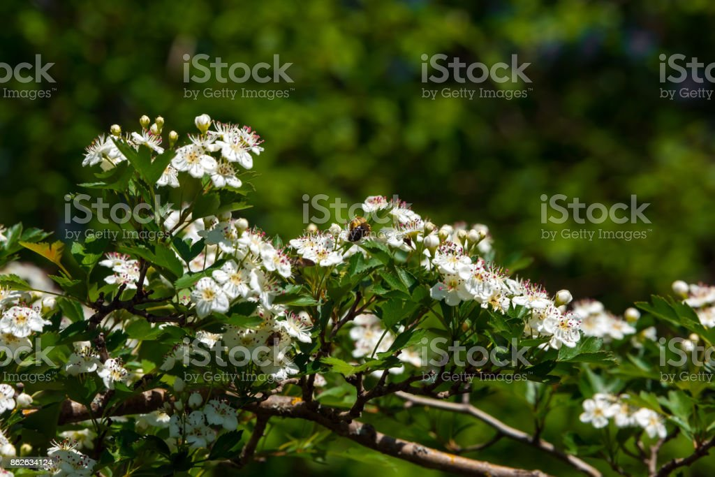 Flowering hawthorn stock photo