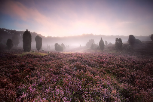 flowering heather during foggy sunrise