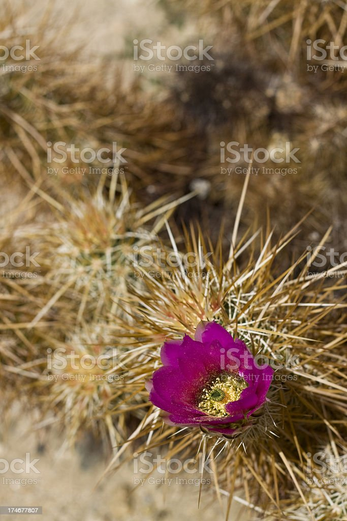flowering hedgehog cactus royalty-free stock photo
