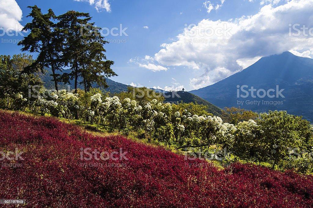 Flowering Hillside & Volcano View stock photo