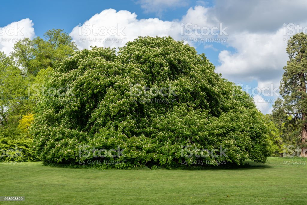 Flowering horse chestnut tree in garden - Royalty-free Agricultural Field Stock Photo