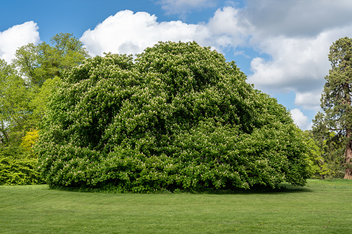 Flowering Horse Chestnut Tree In Garden Stock Photo - Download Image Now