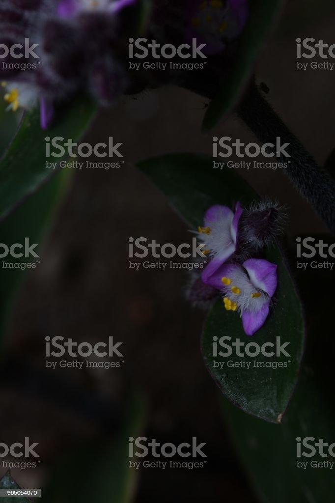 Flowering inch plant zbiór zdjęć royalty-free