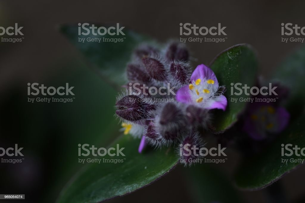 Flowering inch plant royalty-free stock photo