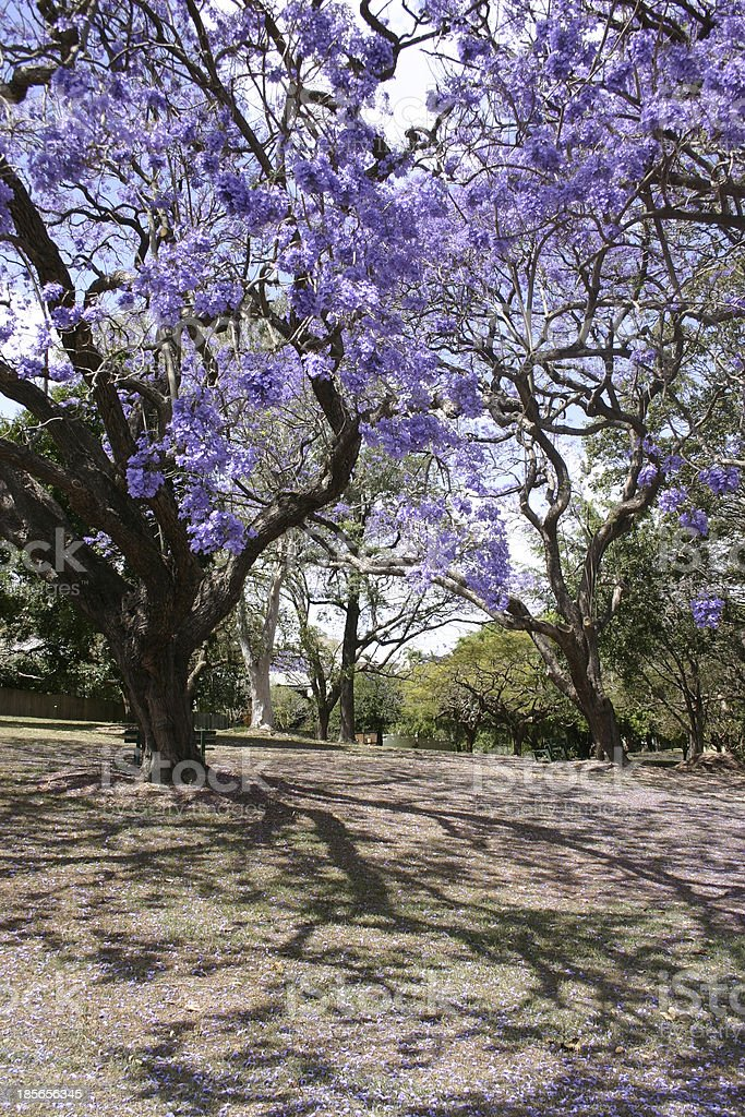 Flowering Jacaranda Trees stock photo