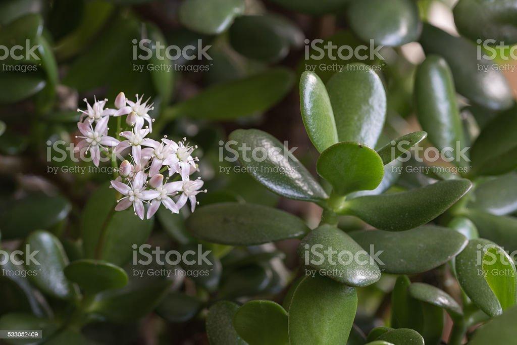flowering jade plant stock photo