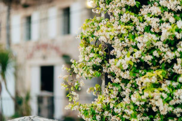 hoa nhài ra hoa, tường xanh. montenegro - star jasmine hình ảnh sẵn có, bức ảnh & hình ảnh trả phí bản quyền một lần