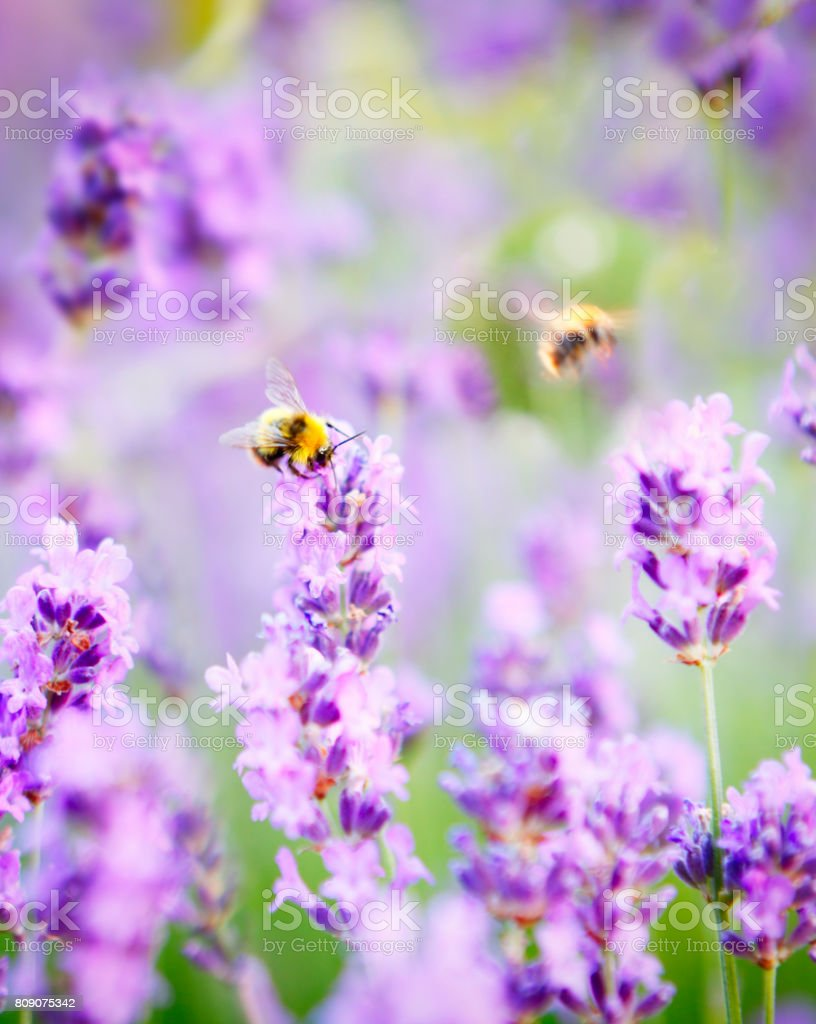 Flowering lavender field stock photo