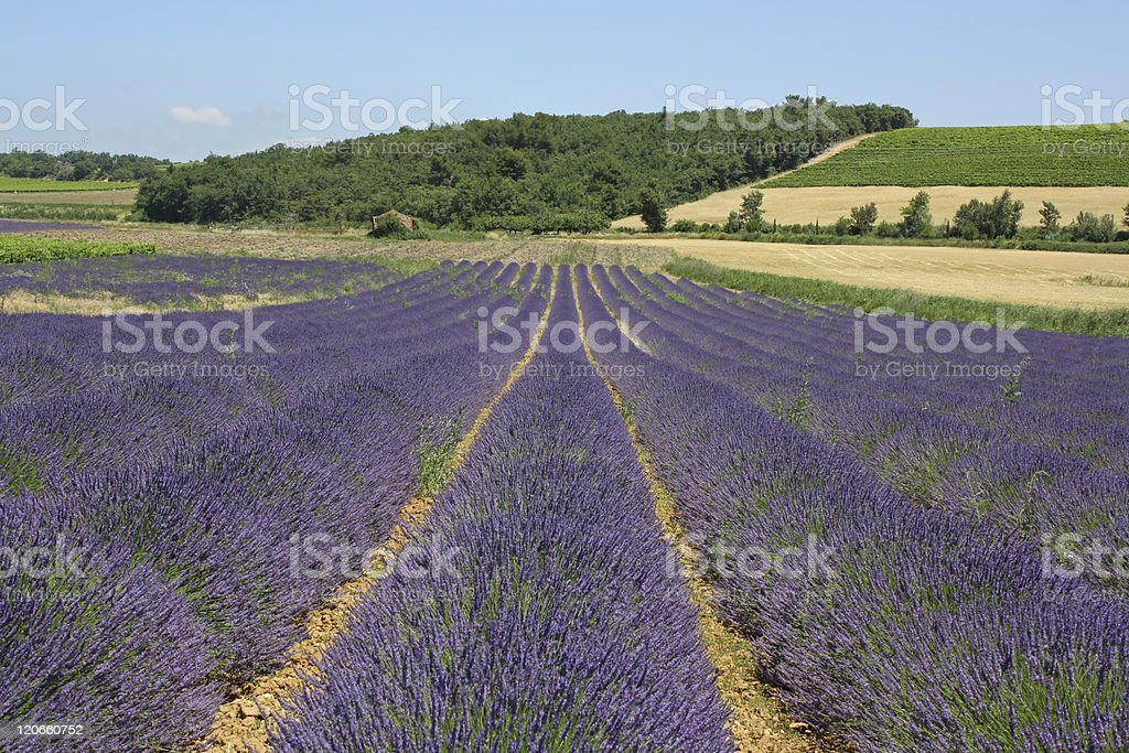 Flowering lavender fields royalty-free stock photo