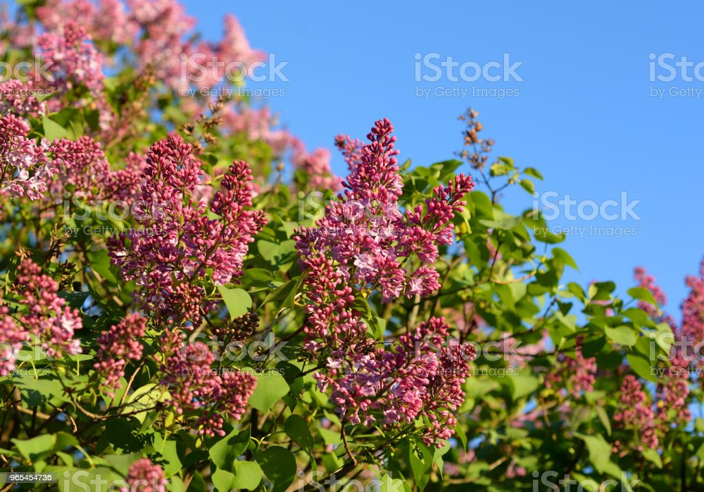 Flowering lilac bush. zbiór zdjęć royalty-free