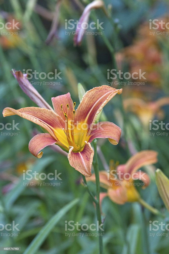 Flowering Lillies royalty-free stock photo