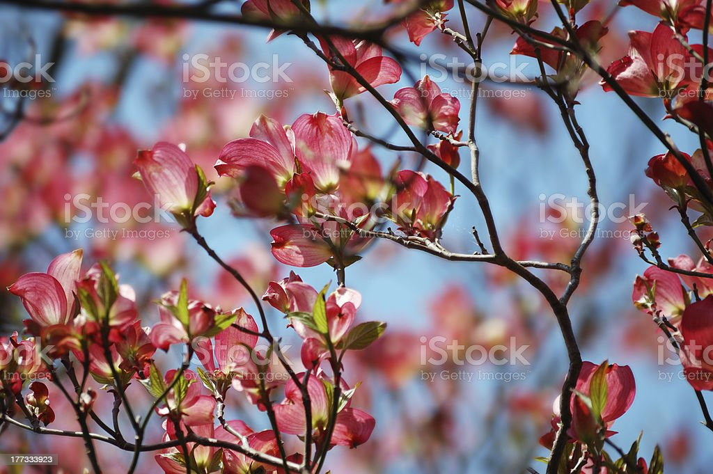Flowering magnolia branches background royalty-free stock photo