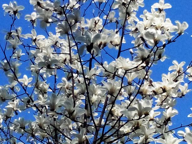 Flowering magnolia – Foto