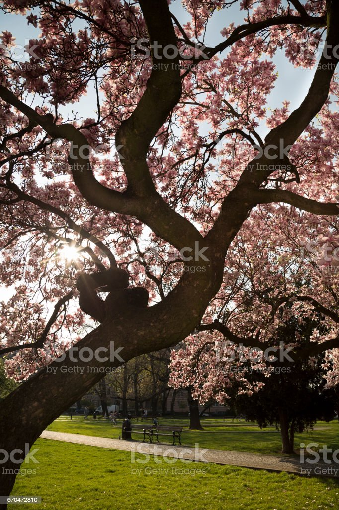 Flowering magnolia tree in a park stock photo