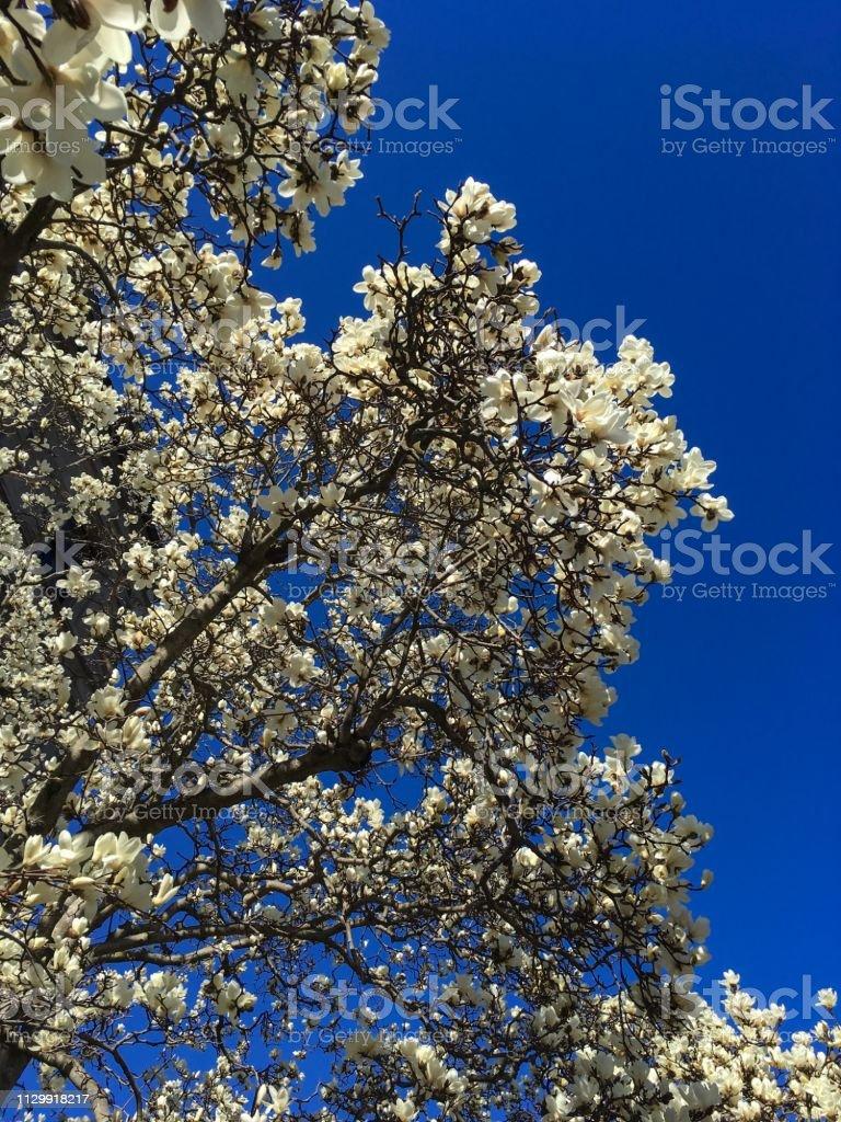 IMG_4189 Flowering Magnolia tree in Spring stock photo