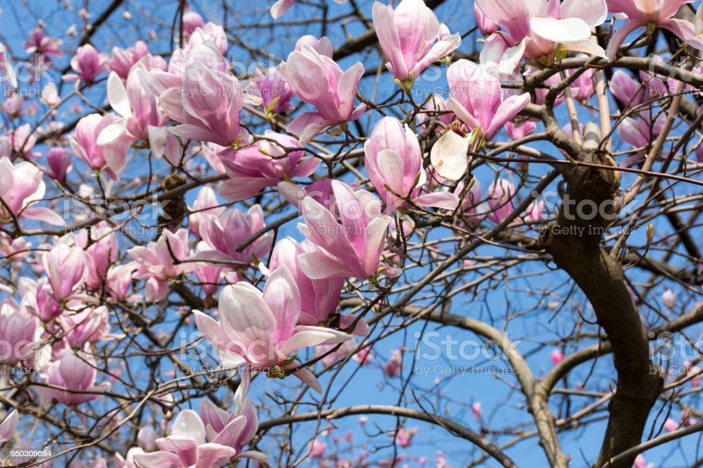 Flowering magnolia tree pink flowers petals twigs on blue sky flowering magnolia tree pink flowers petals twigs on blue sky background spring mightylinksfo