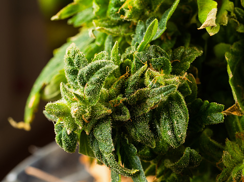 543350314 istock photo Flowering marijuana plant with trichomes, indica, close-up hybrid 1130097881