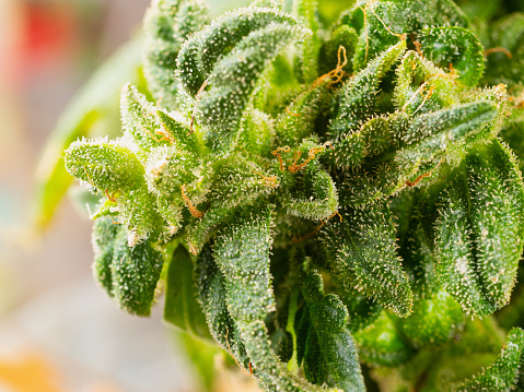 543350314 istock photo Flowering marijuana plant with trichomes, indica, close-up hybrid 1130097911