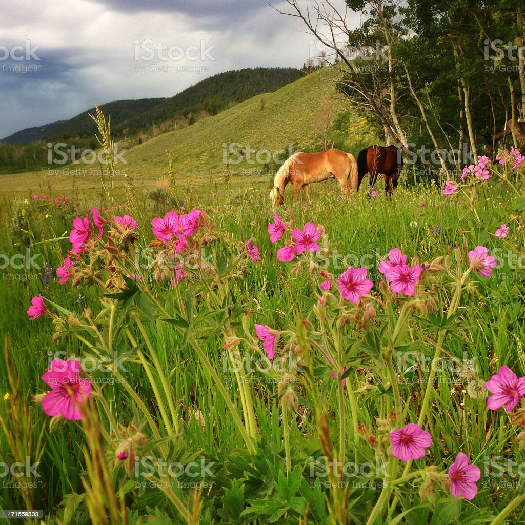 Flowering meadow and horses royalty-free stock photo