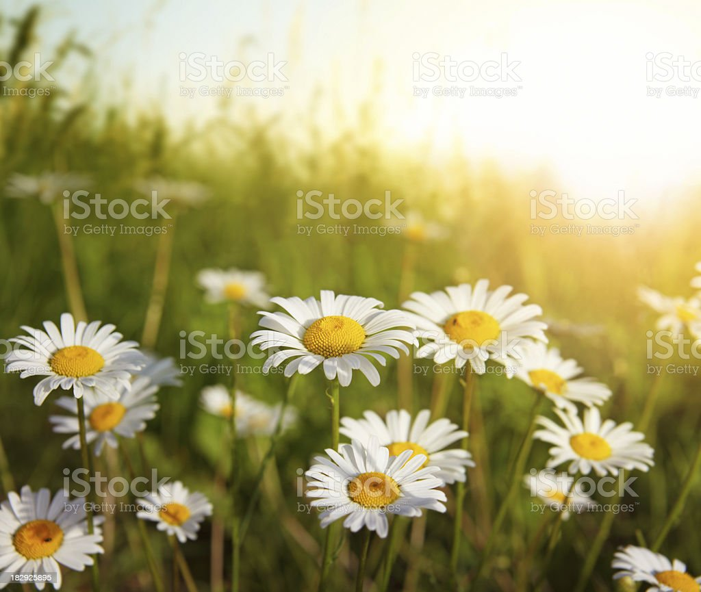 Flowering Meadow in Sunset Light stock photo