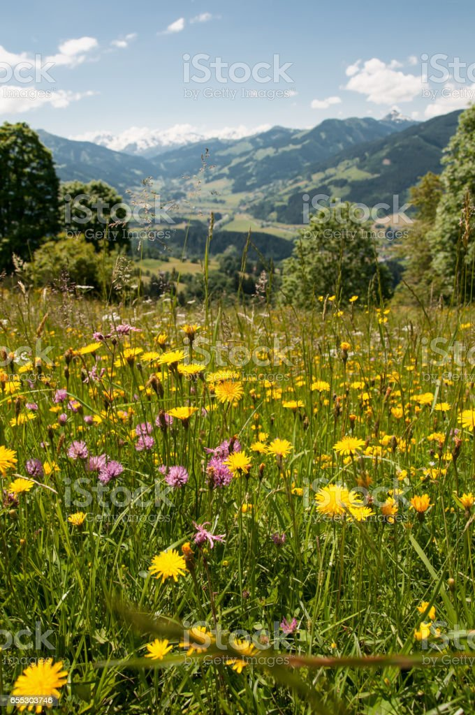 flowering meadow in the Tyrolean alps in Austria stock photo