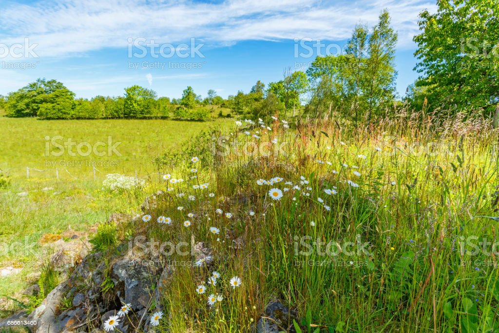 Flowering meadow landscape with Oxeye daisy flowers royalty-free stock photo