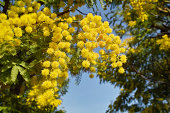 flowering Mimosa in the south of France at Cote d'azur - springtime