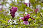 Flowering Mulan magnolia (Magnolia liliiflora)