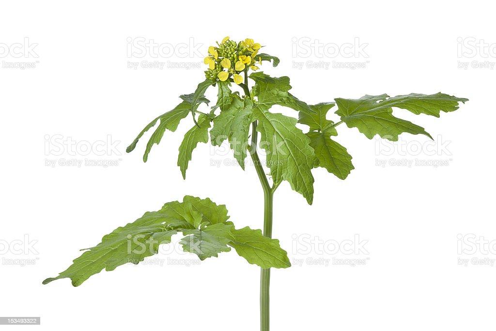 Flowering mustard plant stock photo