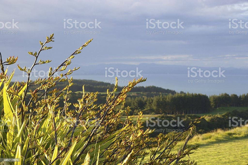 Flowering New Zealand flax plants in the sunset stock photo