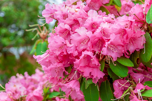 Rhododendron flower head