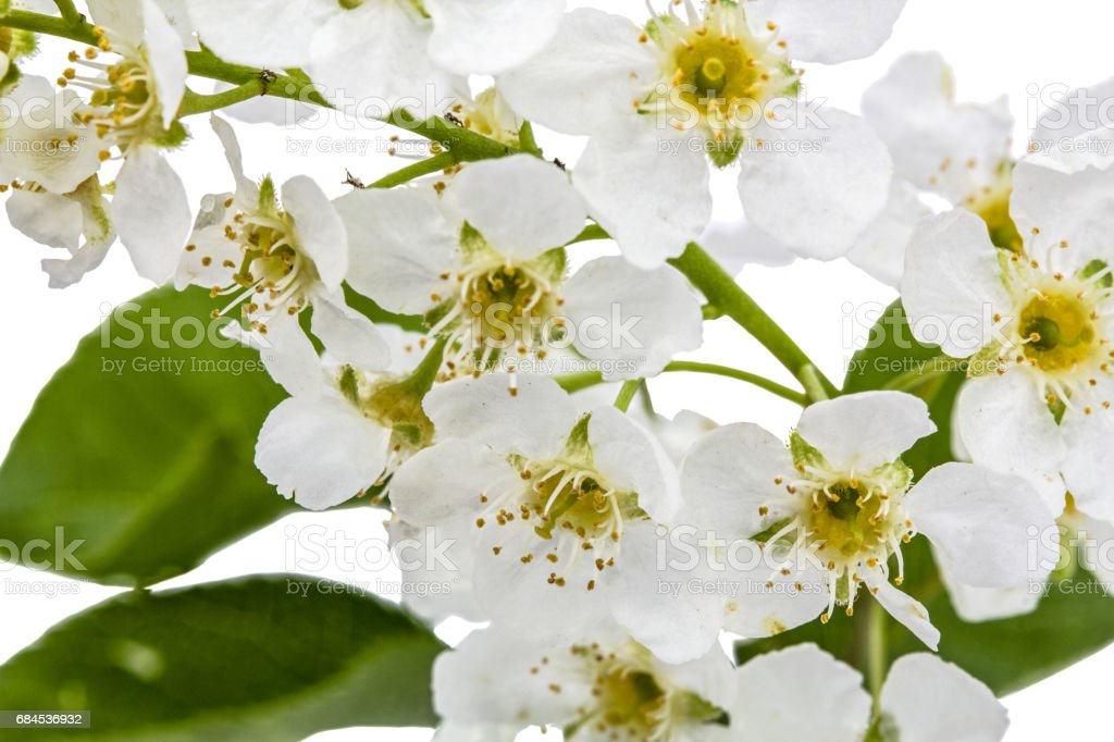 Flowering Of Bird Cherry Tree Isolated On White Background
