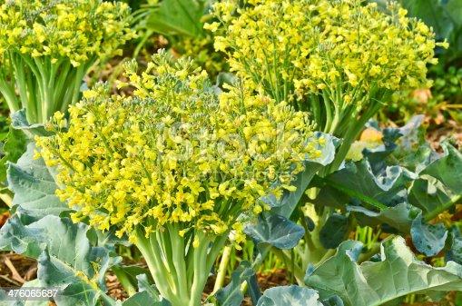 Flowering of cauliflower