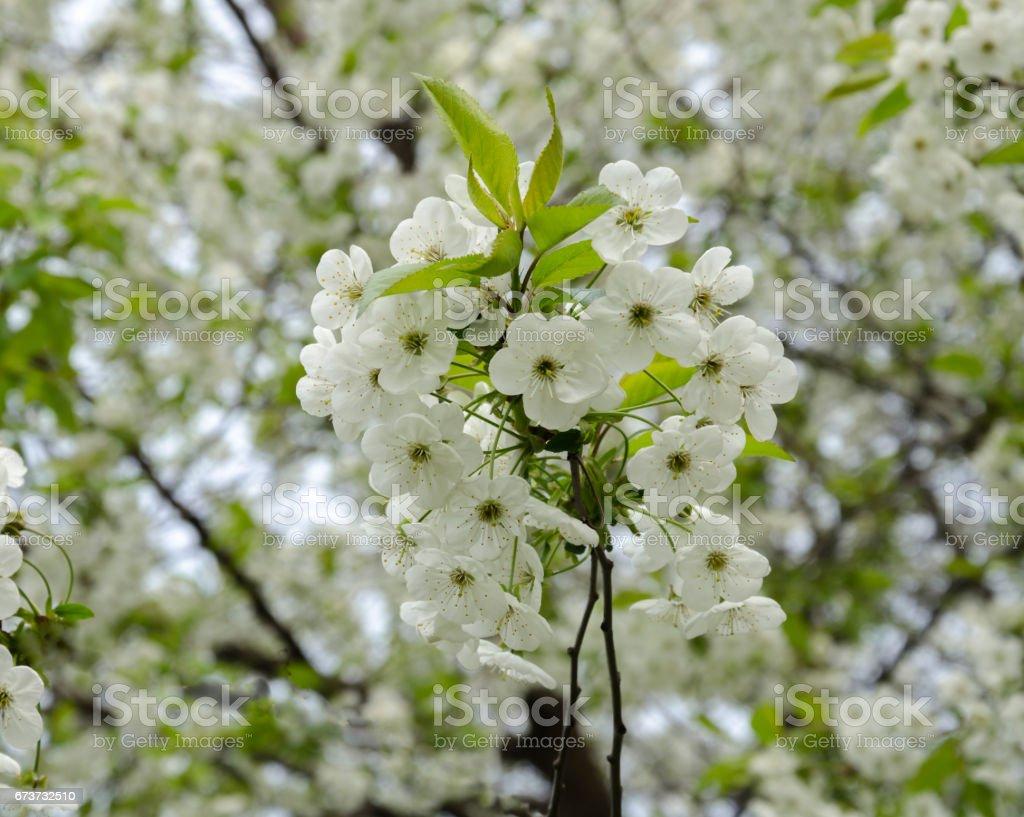 Floraison des arbres fruitiers photo libre de droits