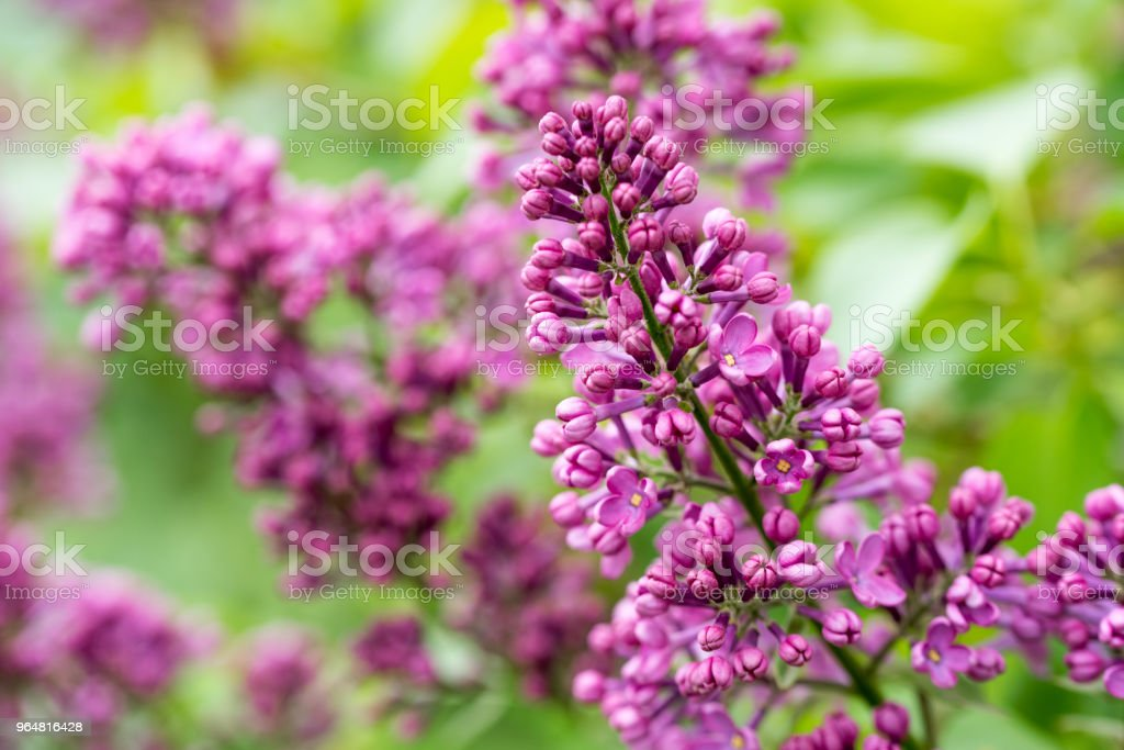 Flowering of Lilac royalty-free stock photo