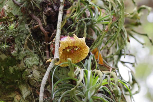Flowering of the Calebass tree stock photo