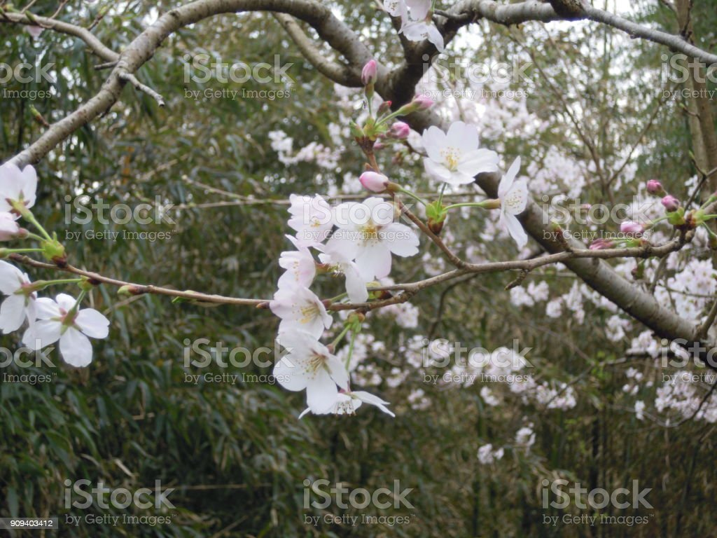 Flowering of the cherry blossoms stock photo