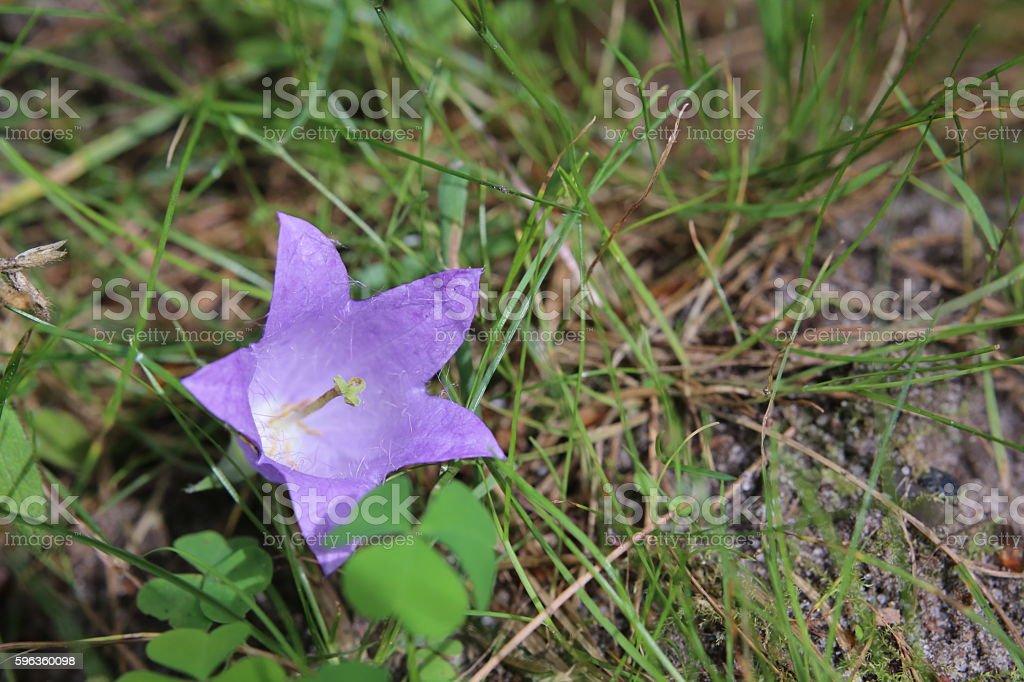 Flowering of the nettle leaved bellflower (Campanula trachelium) royalty-free stock photo