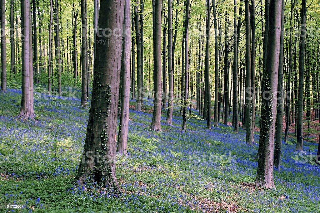 Floraison de Jacinthes des bois stock photo