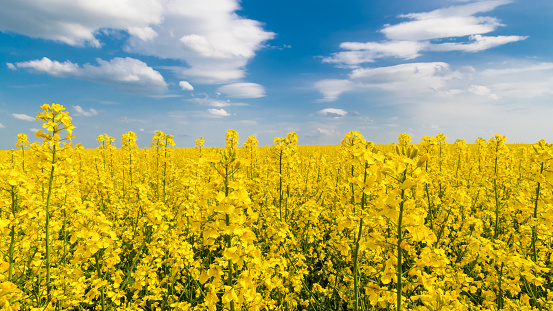 Flowering oilseed rape close-up under blue sky with white clouds. Brassica napus