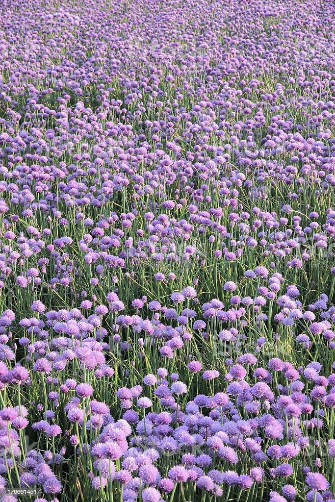 Flowering onion field royalty-free stock photo